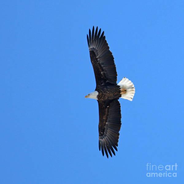 Wall Art - Photograph - Bald Eagle 3155 by Jack Schultz