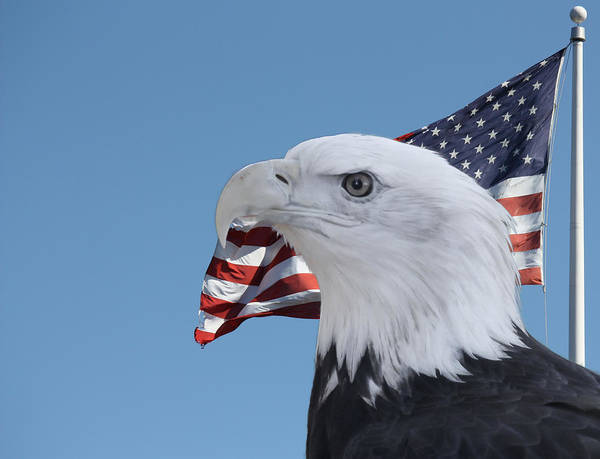 Digital Art - Bald Eagle And Flag by Photographic Art by Russel Ray Photos