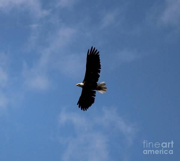 Photograph - Bald Eagle by Ann E Robson