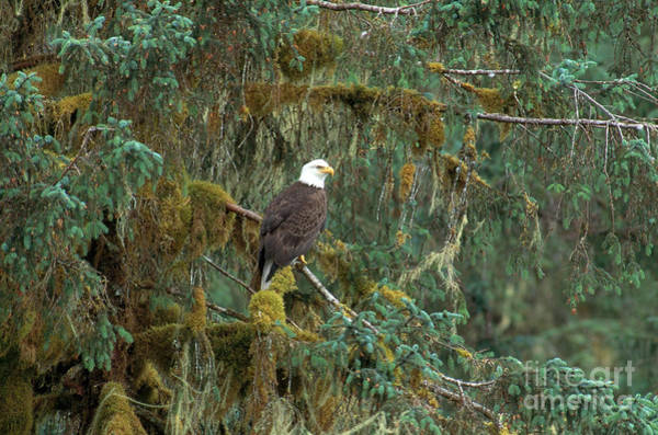 Photograph - Bald Eagle by Art Wolfe