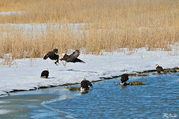 Photograph - Bald Eagle Battle by Greg Norrell