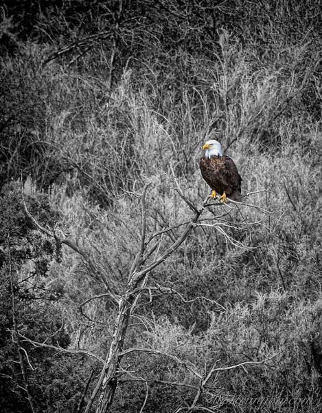 Photograph - Bald Eagle Black And White by Britt Runyon