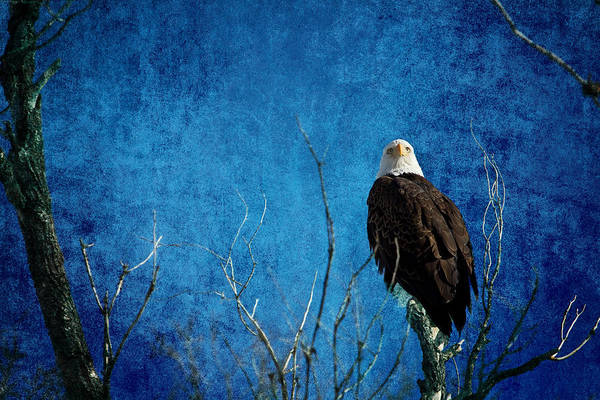 Photograph - Bald Eagle Blues Into The Night by James BO Insogna