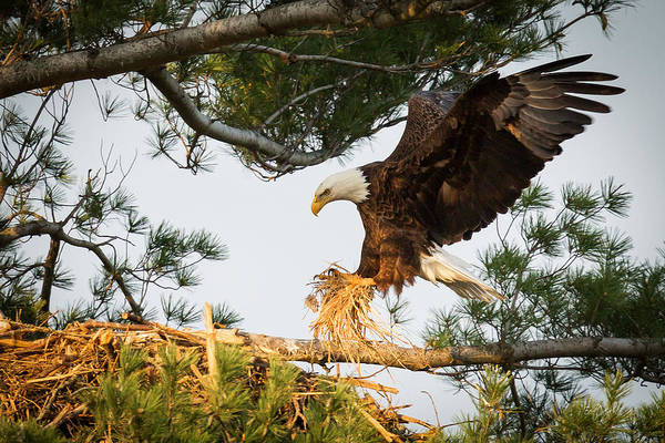 Wall Art - Photograph - Bald Eagle Building Nest by Everet Regal