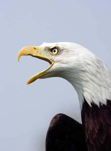 Haliaeetus Leucocephalus Photograph - Bald Eagle Calling by John Devries/science Photo Library