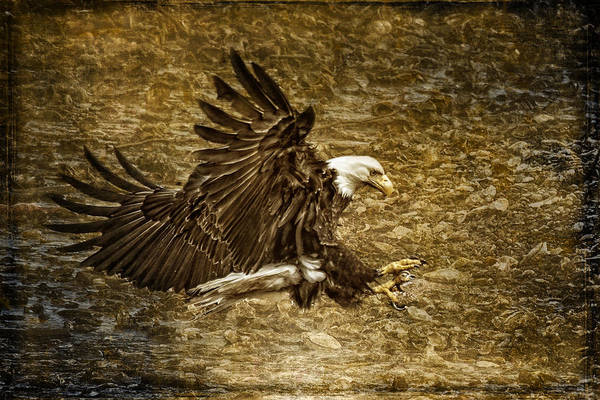 Photograph - Bald Eagle Capture by Wes and Dotty Weber