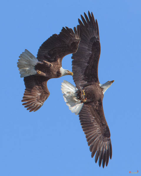 Photograph - Bald Eagle Chase Over Pohick Bay Drb148 by Gerry Gantt