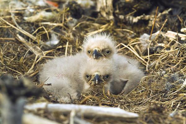 Gulf Of Alaska Photograph - Bald Eagle Chicks Sitting In A Nest by Brian Guzzetti