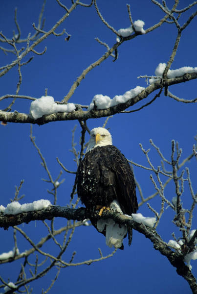 Haliaeetus Leucocephalus Photograph - Bald Eagle, Chilkat River, Haines by Gerry Reynolds