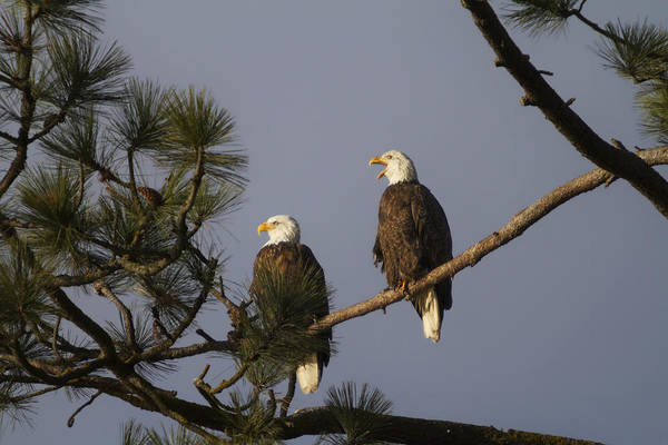 Haliaeetus Leucocephalus Photograph - Bald Eagle Couple by Mark Kiver