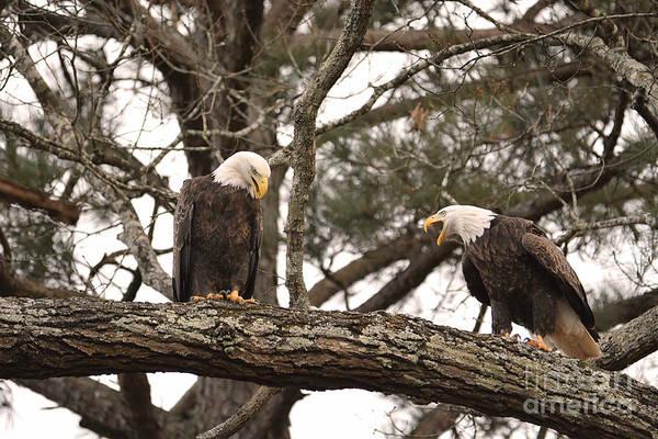Photograph - Bald Eagle Courtship by Jai Johnson