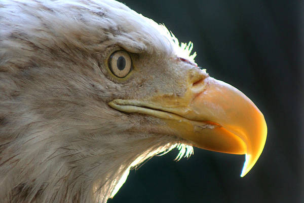 Photograph - Bald Eagle by Wes and Dotty Weber