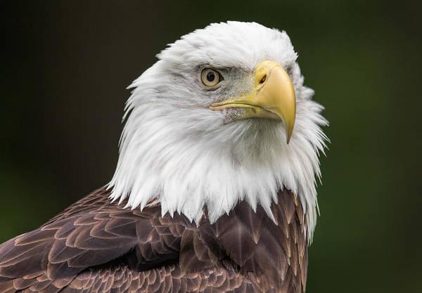 Photograph - Bald Eagle by Dale Kincaid