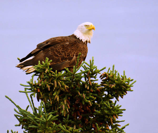 Photograph - Bald Eagle by Debra  Miller