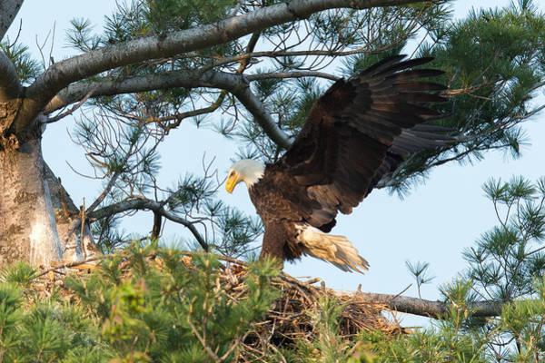 Birds Nest Photograph - Bald Eagle by Everet Regal