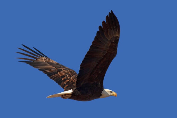 Wall Art - Photograph - Bald Eagle Fly By by Beth Sargent