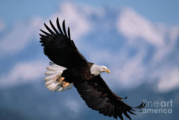 Haliaeetus Leucocephalus Photograph - Bald Eagle Flying Kachemak Bay by Yva Momatiuk John Eastcott