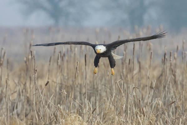 Wall Art - Photograph - Bald Eagle, Foggy Wetland Marsh by Ken Archer