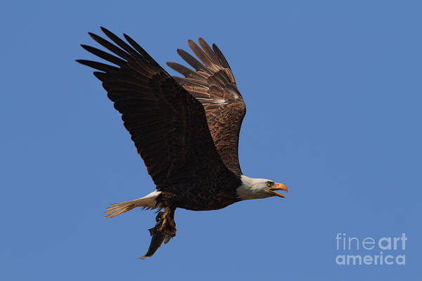 Photograph - Bald Eagle Gone In Five Seconds by Beth Sargent