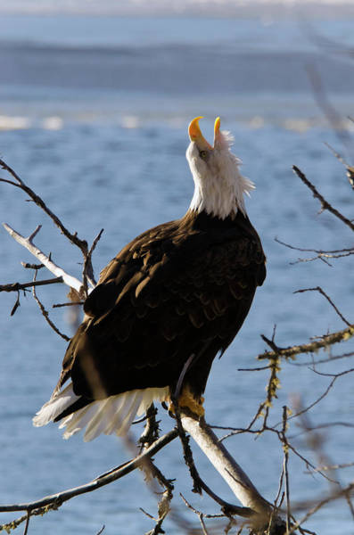 Eagle Photograph - Bald Eagle Haliaeetus Leucocephalus by Mark Newman / Design Pics