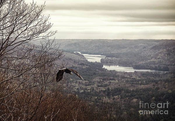 Flying Eagle Photograph - Bald Eagle by HD Connelly