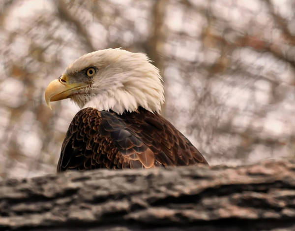 Photograph - Bald Eagle In A Tree by Chris Flees