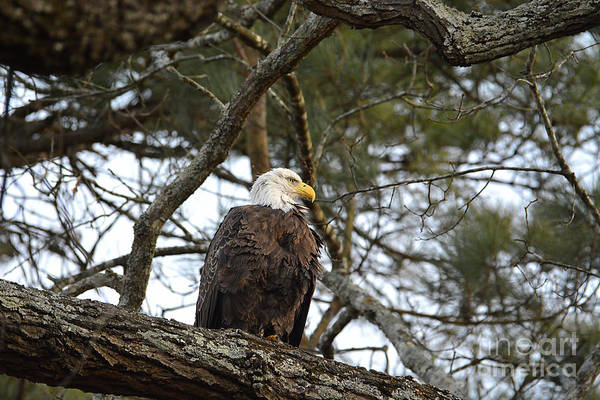Photograph - Bald Eagle In A Tree by Jai Johnson