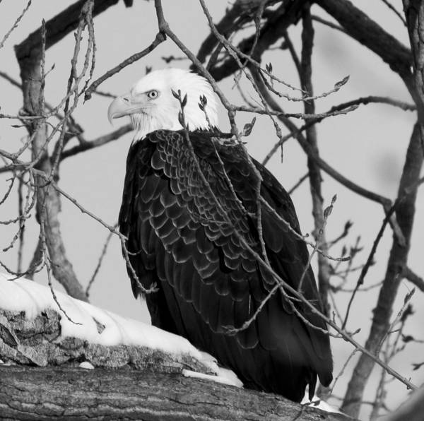 Photograph - Bald Eagle In Black And White by Ricky L Jones