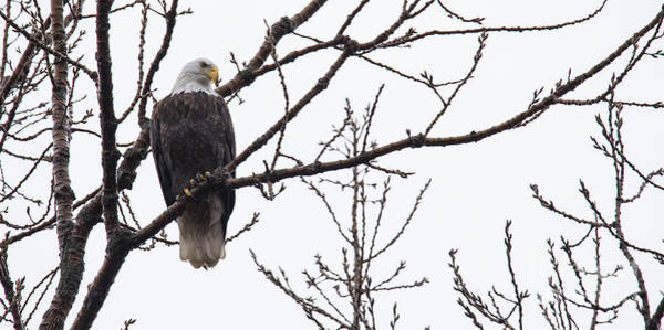 Flying Eagle Photograph - Bald Eagle In Burlington Iowa by Twenty Two North Photography