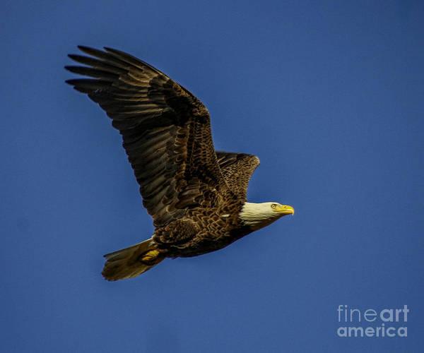 Photograph - Bald Eagle In Flight by Barbara Bowen