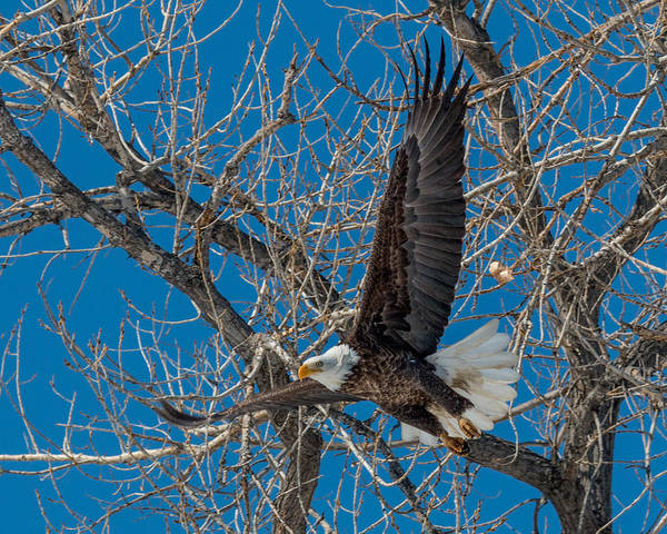 Wall Art - Photograph - Bald Eagle In Flight by Dawn Key