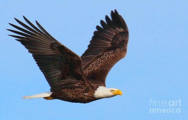 Photograph - Bald Eagle In Flight by Debbie Stahre