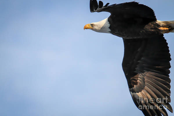 Photograph - Bald Eagle In Flight by Eleanor Abramson