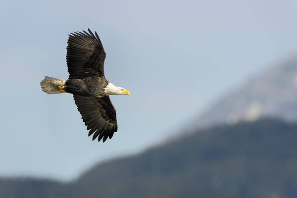 Photograph - Bald Eagle In Flight- Haliaeetus Leucocephalus by Paul W Sharpe Aka Wizard of Wonders