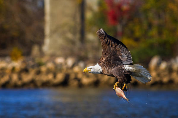 Unframed Wall Art - Photograph - Bald Eagle In Flight Over Water Carrying A Fish by Lori Coleman