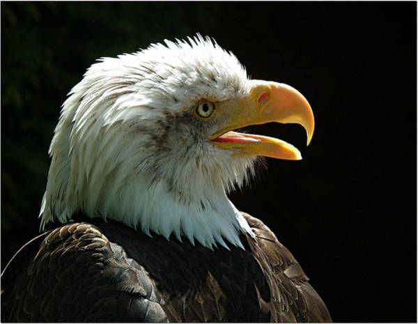 Eagle Photograph - Bald Eagle In Profile by Capturing The Natural World Around Me