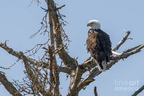 Photograph - Bald Eagle In Tree by Dan Friend