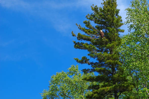 Photograph - Bald Eagle In Tree by Lars Lentz