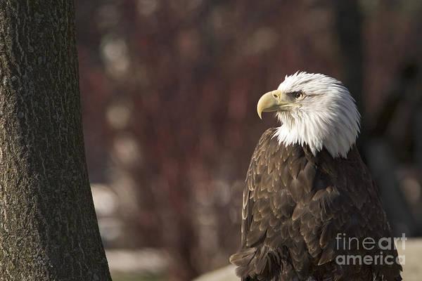 Photograph - Bald Eagle by Jim West