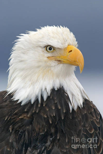 Falconiformes Photograph - Bald Eagle by Jim Zipp