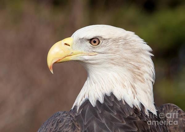 Joshua Clark Photograph - Bald Eagle by Joshua Clark