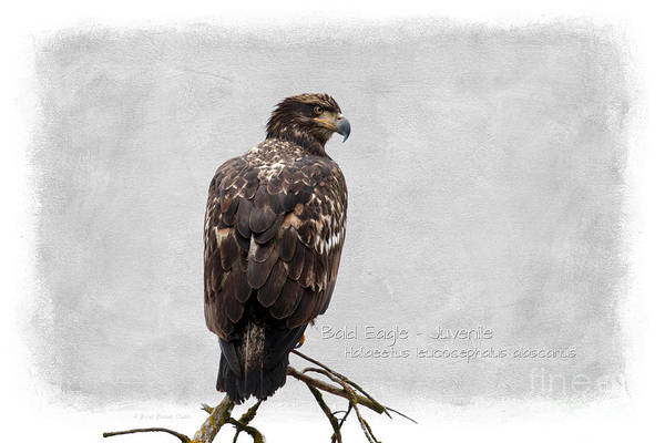 Photograph - Bald Eagle -juvenile by Beve Brown-Clark Photography