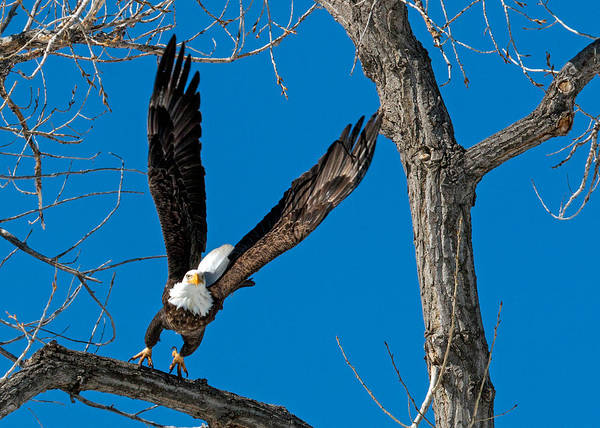 Wall Art - Photograph - Bald Eagle Launching Into Flight by Dawn Key