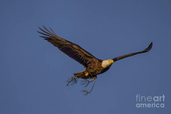 Photograph - Bald Eagle Nesting by Barbara Bowen