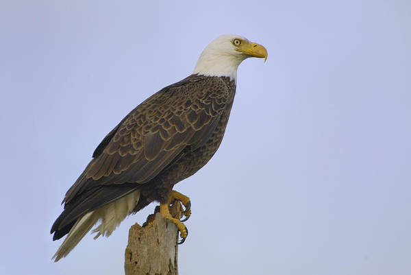 Photograph - Bald Eagle On A Snag by Bradford Martin