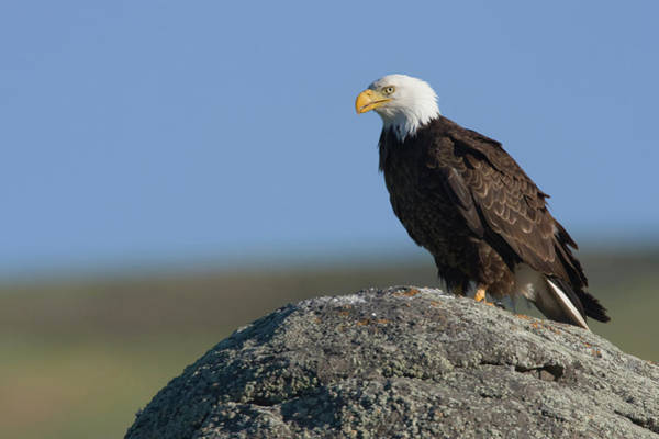 Haliaeetus Leucocephalus Photograph - Bald Eagle On Boulder by Ken Archer