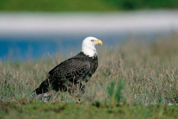 Falconiformes Photograph - Bald Eagle On Sandbar by Paul J. Fusco