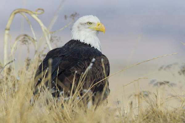 Haliaeetus Leucocephalus Photograph - Bald Eagle On The Ground by Ken Archer