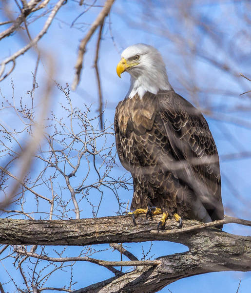 Photograph - Bald Eagle On The Iowa River by Pete Hendley
