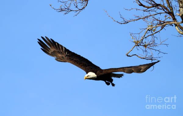 Bald Eagle Out Of The Tree Art Print by Darrin Aldridge